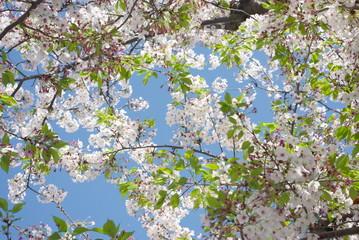 満天の新緑の中の桜