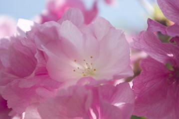 八重桜の花弁