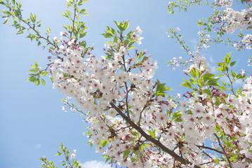 青空へ向かう桜