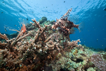 Lionfish and acropora.