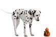 Hund Dalmatiner stehend mit Kürbis