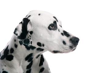 Dalmatiner Hund Kopf Portrait