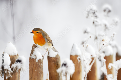 canvas print picture European Robin perching on a garden fence in winter