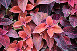 Design of Coleus
