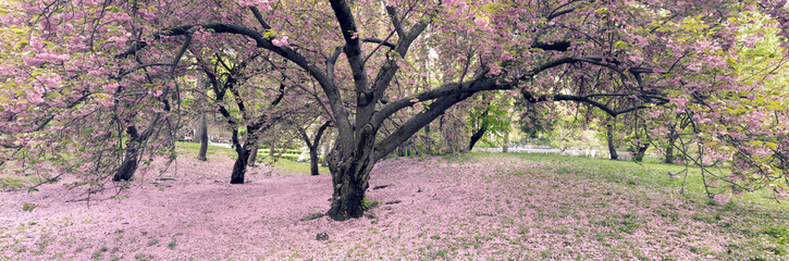 Cherry trees in full bloom