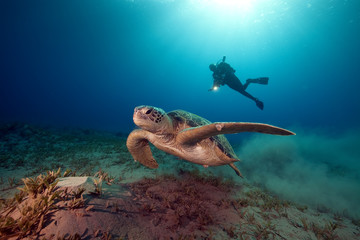 male green turtle and videographer.