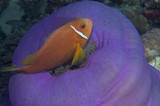 Blackfooted-Anemonefish