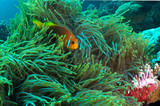 Blackfotted Anemonefish