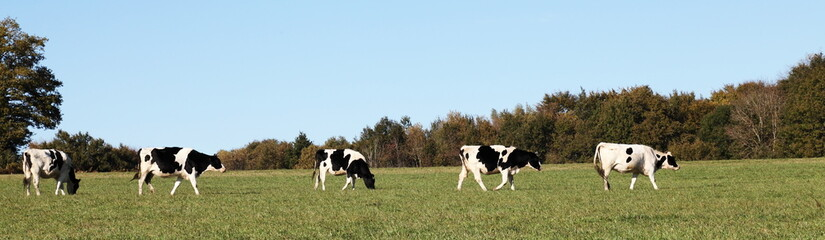 Black and White Dairy Cows Panorama Banner