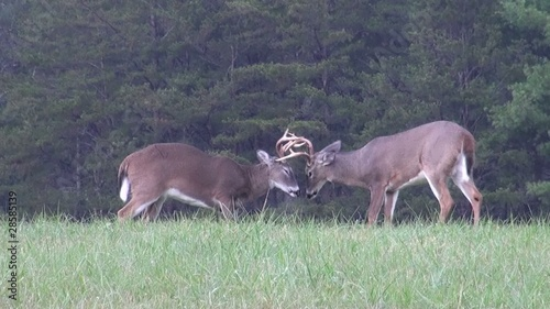 White-tailed deer bucks sparring in open meadow