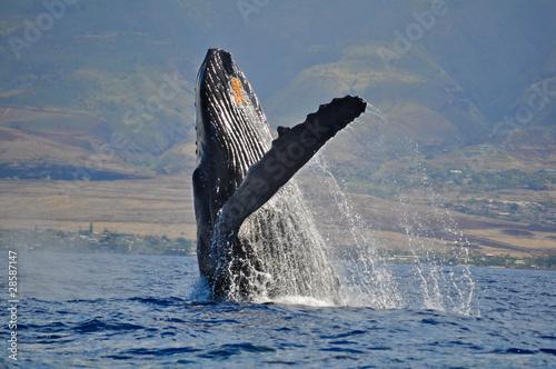 Breaching Humpback Whale - 28587147