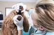 Veterinary controls dogs teeth