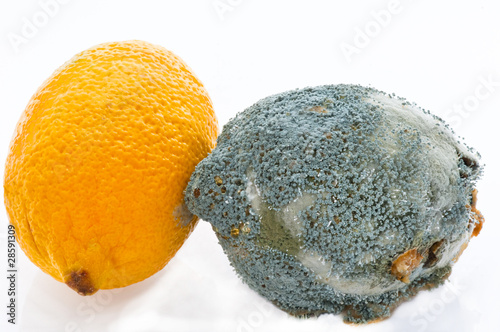 Fresh and  rotting lemons touching each other. Penicillium speci