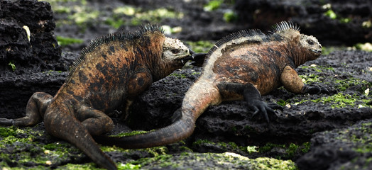 Males marine iguana fight.