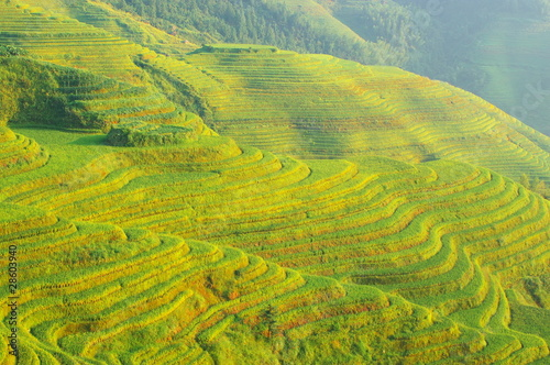 Chinese green rice field