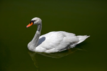 Swan on the water