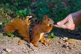 Fototapety Red squirrel in the natural environment