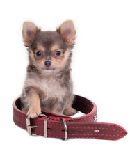 Puppy and Red Collar
