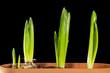 Tulip sprouts