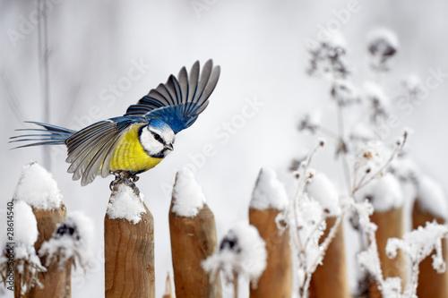 Leinwandbild Motiv Blue Tit landing on a snow-covered garden fence