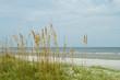 Sea Oat Grass, Sand Dune, Overlooking Ocean, Hilton Head Beach