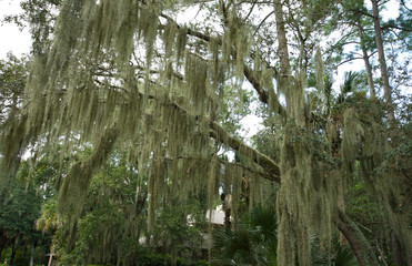 Spanish Moss Hanging from Live Oak, Hilton Head, South Carolina