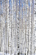 Winter birch forest - winter serenity.