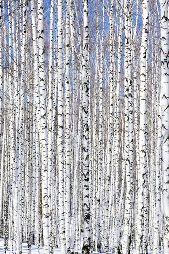 Winter birch forest - winter serenity.