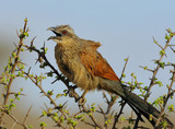 White-browed Coucal poster