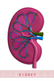 Anatomical drawing of a kidney poster