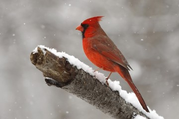 Cardinal in the snow 2