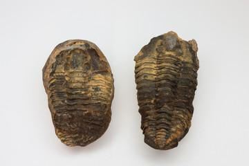 Trilobite, splitted, Morocco