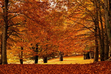 autumn leaves forest