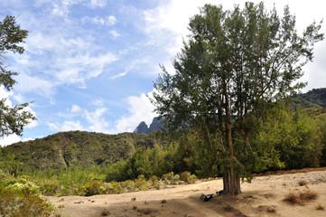 arbre à mafate