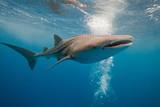 Fototapety Whale shark