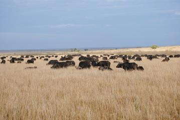 Manada de buffalos