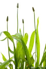 Spitz-Wegerich (Plantago lanceolata) auf weißem Hintergrund