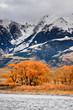 Orange Cottonwood Trees and Mountains, Montana