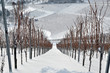 Weinberg im Winter  #101226-006