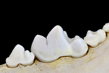 Carnassial tooth