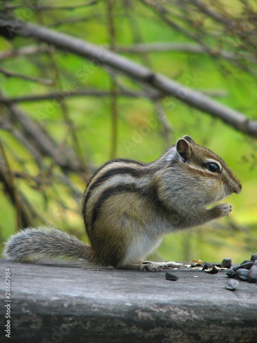 Chipmunk eats the seeds