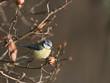 Cyanistes caeruleus - Mésange bleue - Blue Tit