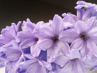 hyacinth with drops detail