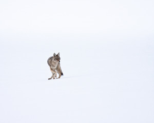 Coyote during winter