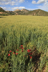 Cereal plantation,Gudar mountains, Teruel province, Aragon Spain