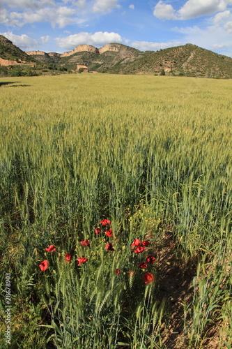 Cereal plantation,Gudar mountains, Teruel province, Aragon Spain