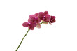 pink orchid flowers against white background