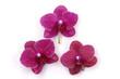 Close up beautiful three orchid
