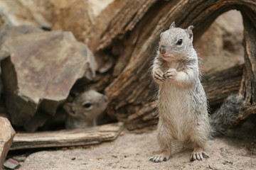 Rock Squirrels (Otospermophilus variegatus) - Arizona
