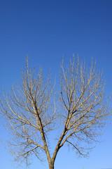 poplars branches